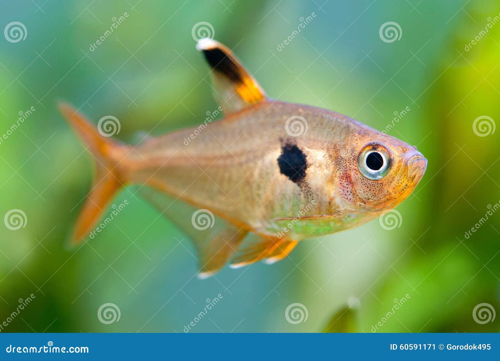 Poissons d 39 aquarium rosy tetra r servoir d 39 eau douce un for Aquarium poisson rouge changer l eau