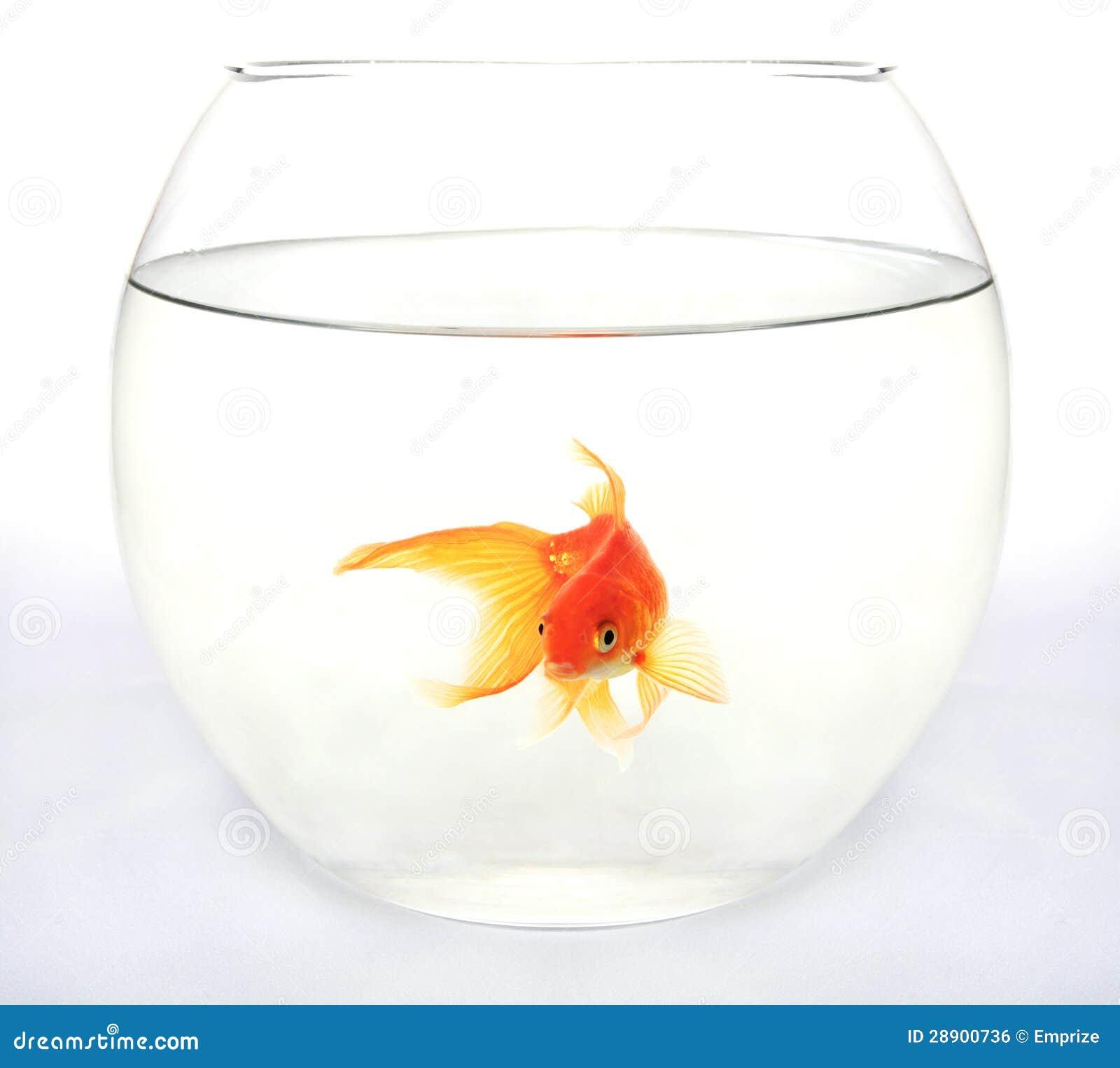 Poissons d 39 or dans l 39 aquarium rond image libre de droits for Bocal rond poisson