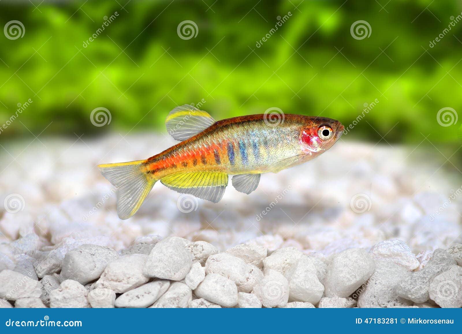 Poissons d 39 eau douce d 39 aquarium de choprai de danio de for Poisson aquarium douce