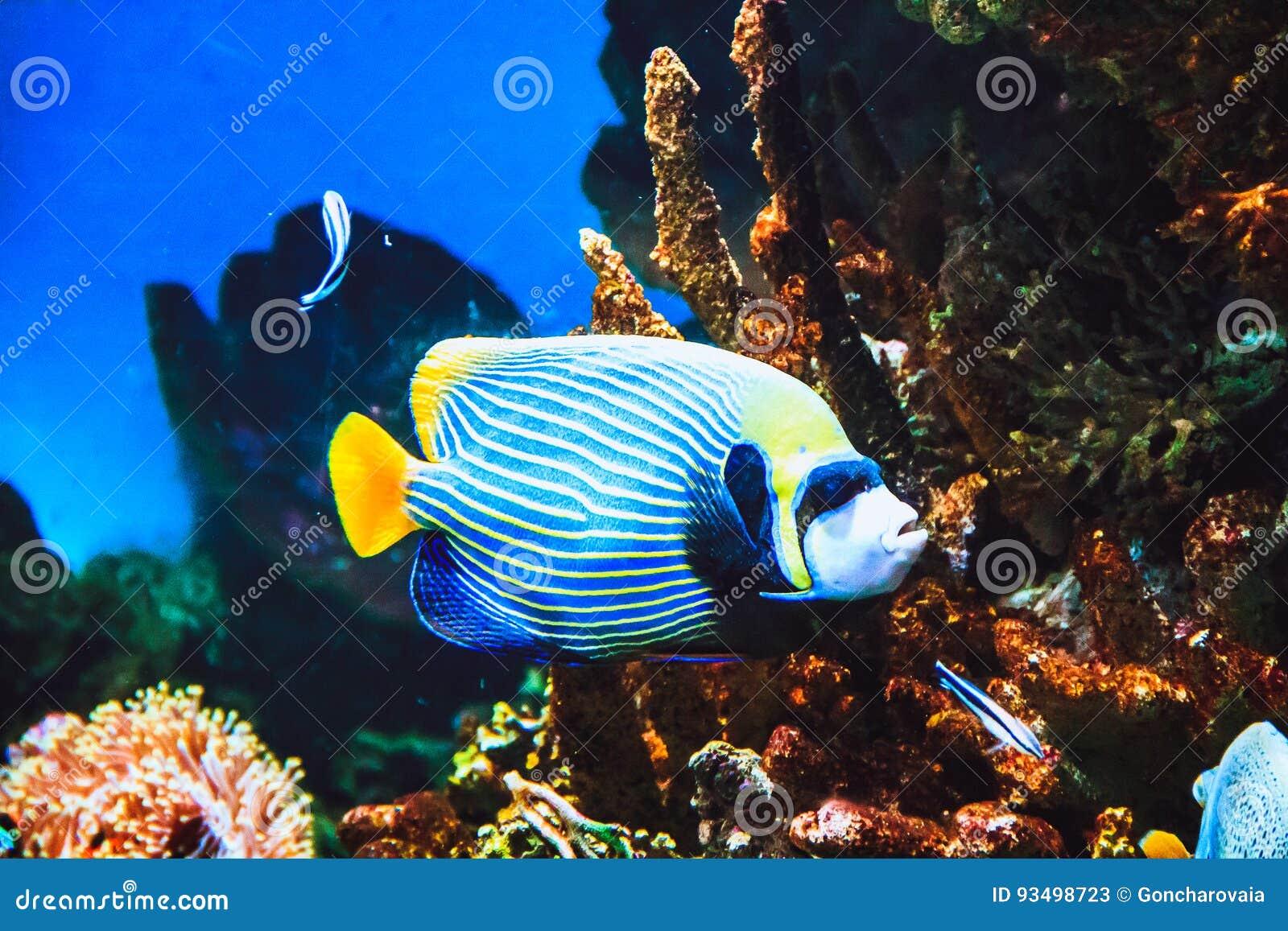 Poissons d imperator de Pomacanthus de scalaire d empereur et récif coralien dans l océan