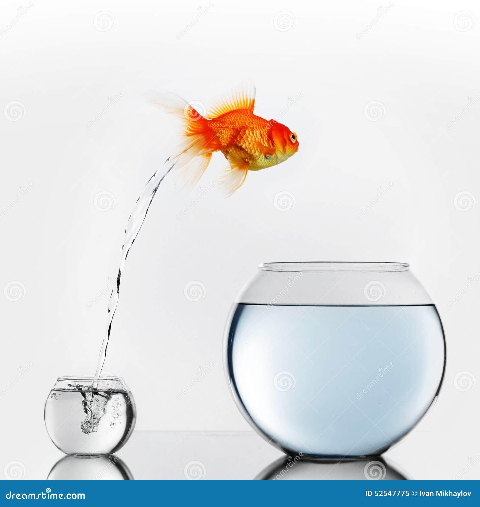 Poissons d or sautant au grand bocal à poissons