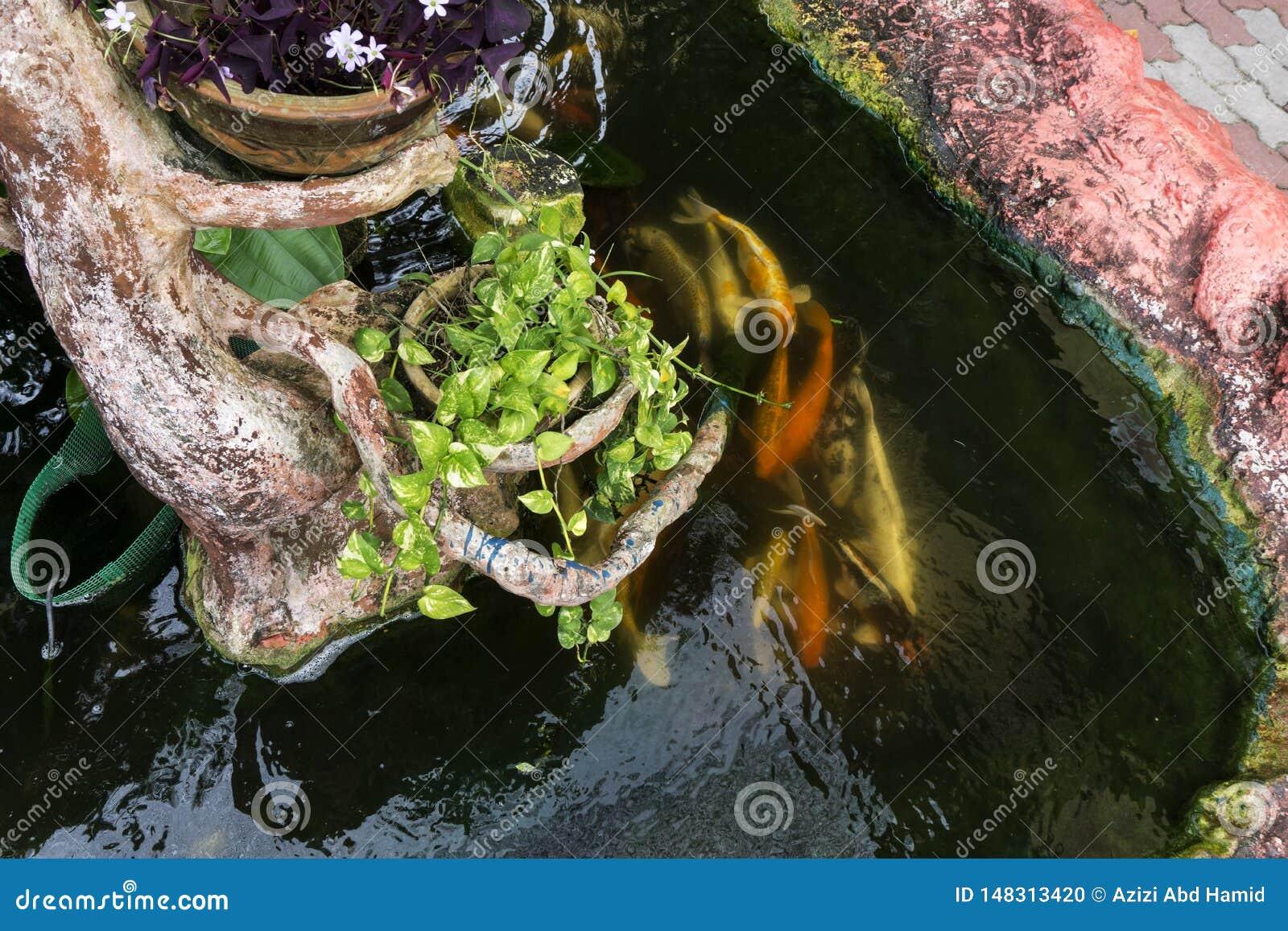 Poissons de carpe de Koi nageant dans un étang