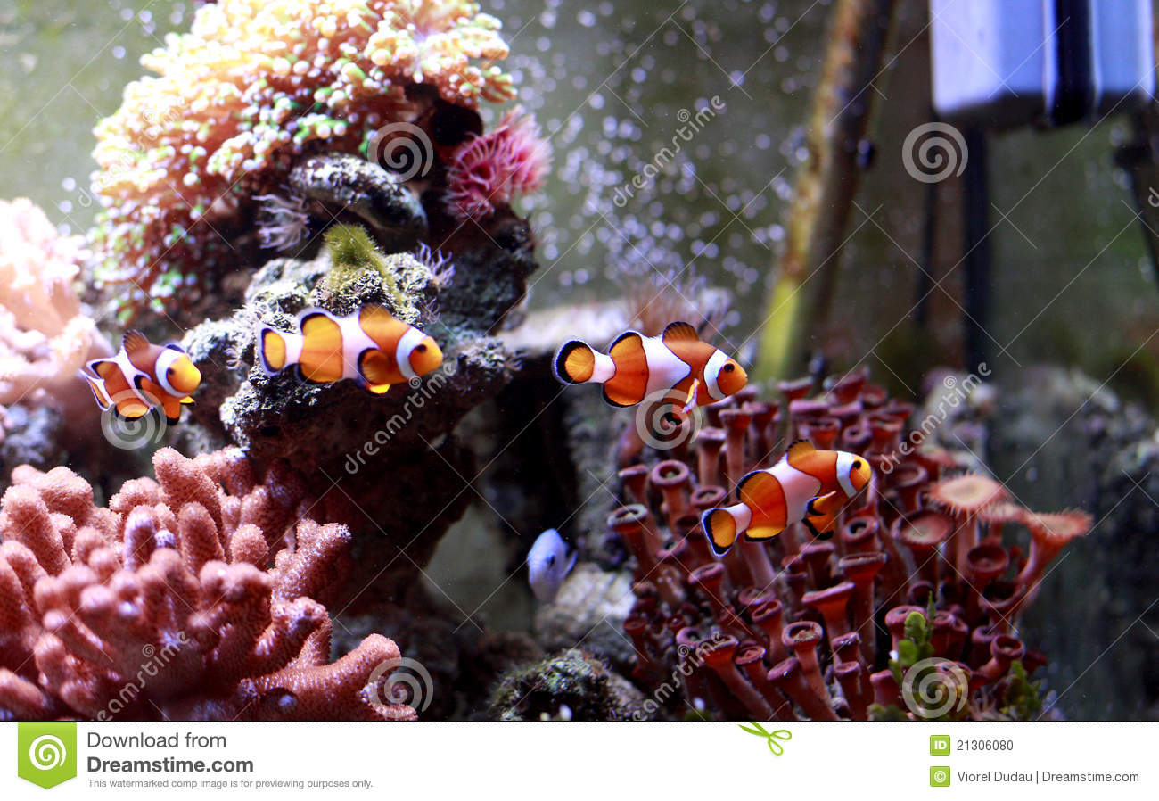 Poissons de clown