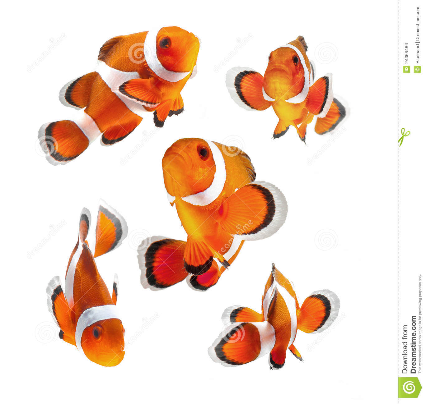 Poissons de clown ou poissons d 39 an mone d 39 isolement sur le for Poisson clown achat