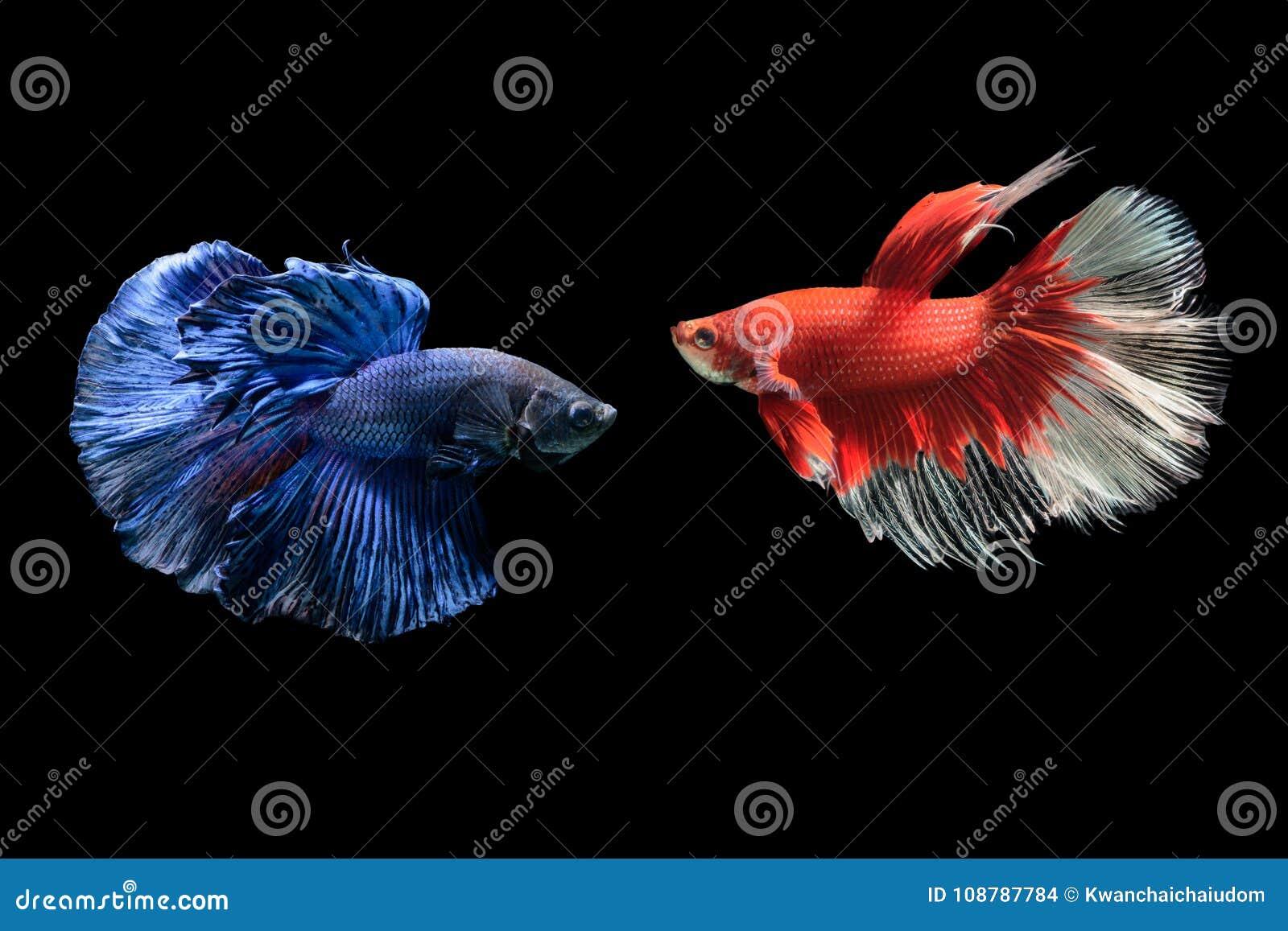 Poissons de combat siamois bleus et rouges, splendens de betta