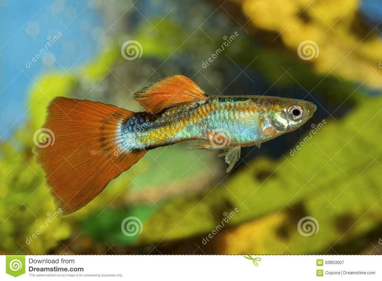 Poissons de guppy dans un aquarium image stock image for Alimentation guppy poisson rouge