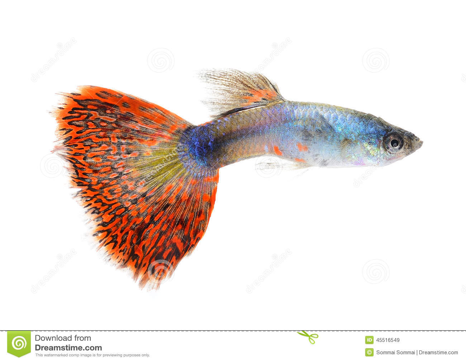 poissons de guppy sur le fond blanc image stock image du isolement sous 45516549. Black Bedroom Furniture Sets. Home Design Ideas