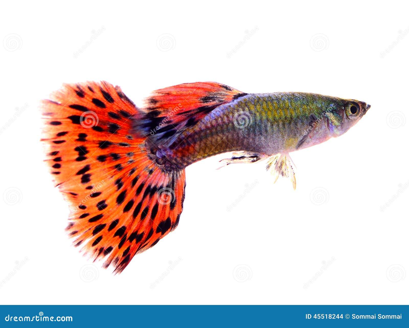 poissons de guppy sur le fond blanc photo stock image 45518244. Black Bedroom Furniture Sets. Home Design Ideas