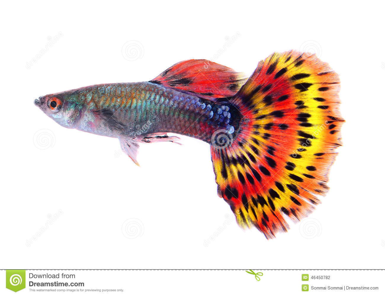 Poissons de guppy sur le fond blanc photo stock image du for Alimentation guppy poisson rouge