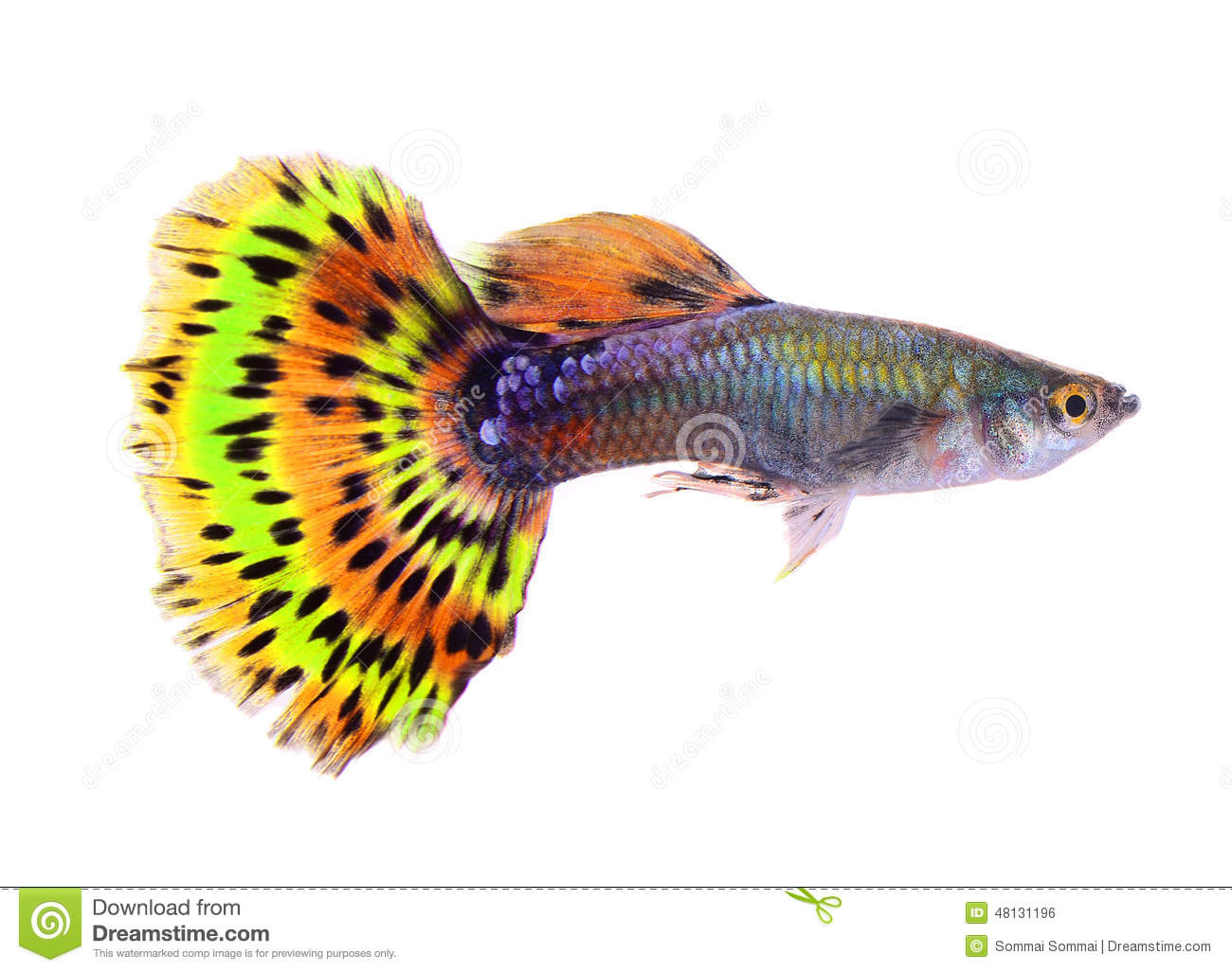Poissons de guppy sur le fond blanc photo stock image for Alimentation guppy poisson rouge