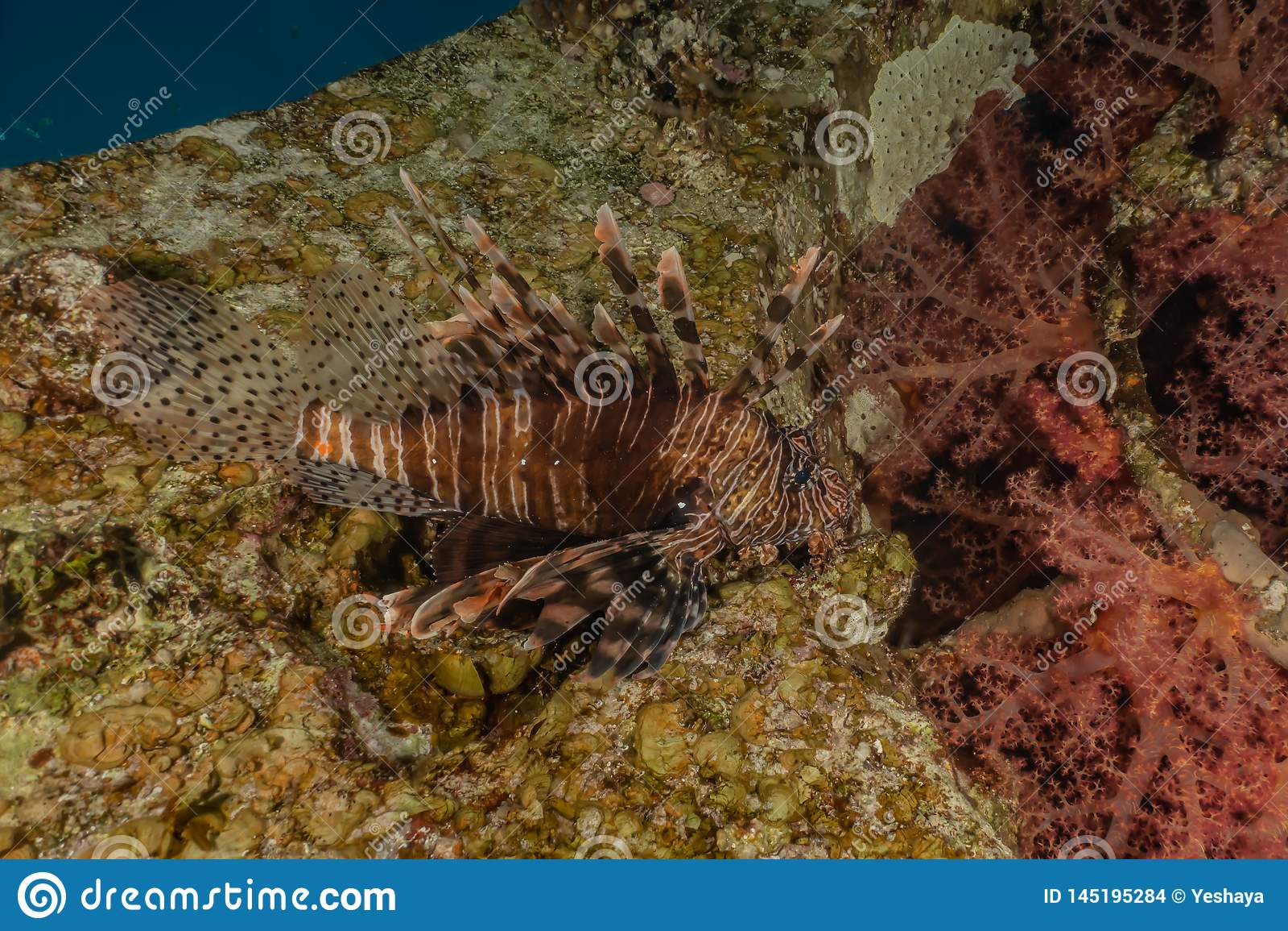 Poissons de lion dans les poissons color?s de la Mer Rouge