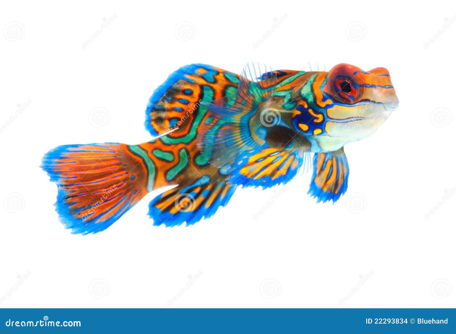 poissons de mandarine d 39 isolement sur le fond blanc photo stock image du cr ateur ligne 22293834. Black Bedroom Furniture Sets. Home Design Ideas