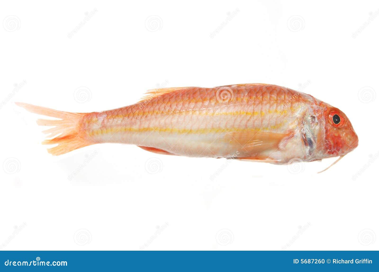 Poissons de mulet rouge photo stock image du rouge for Nourriture poisson rouge super u