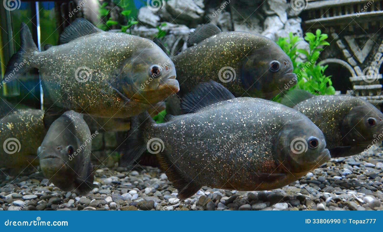 poissons de piranha dans un aquarium photo stock image 33806990