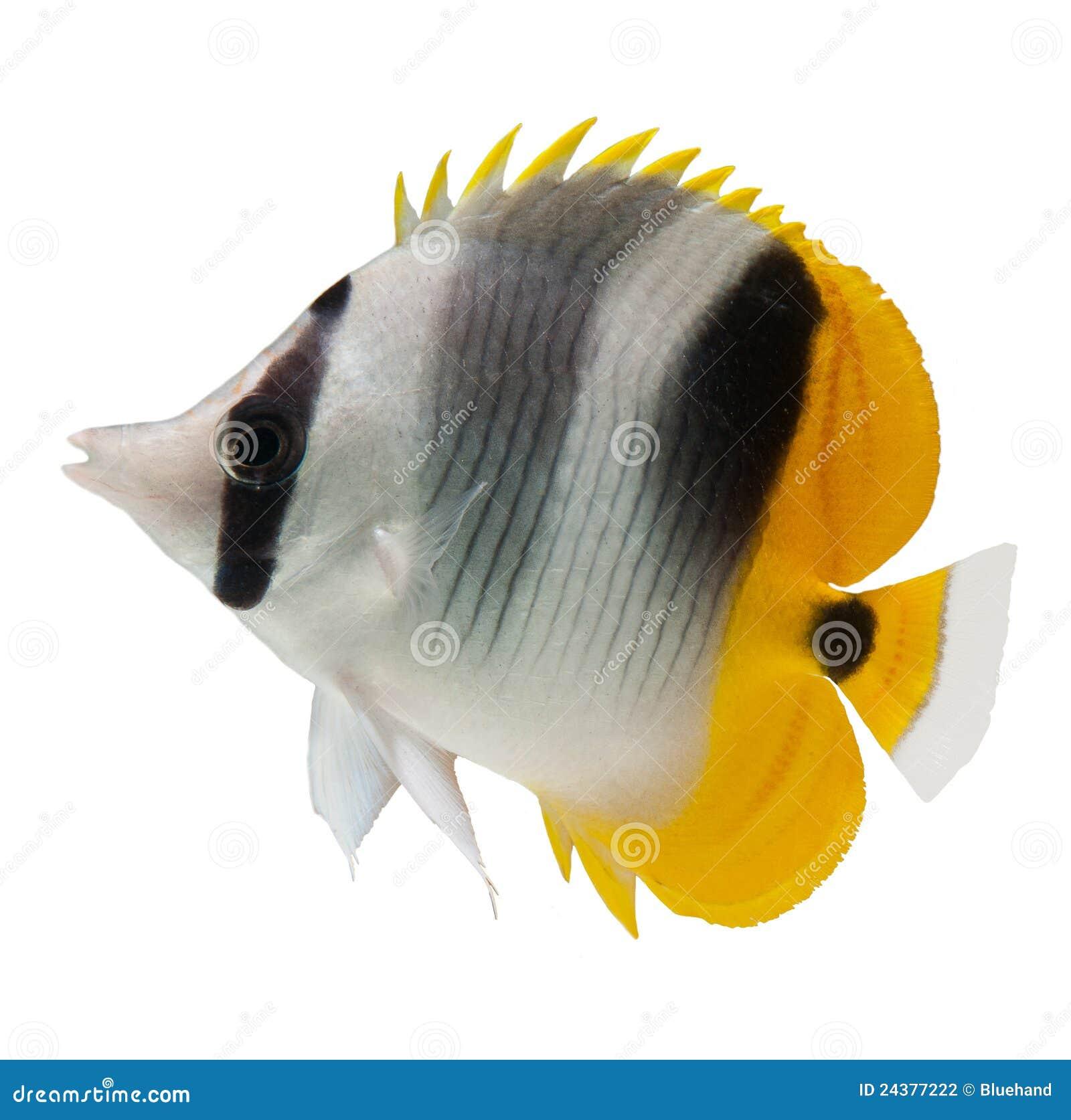 Poissons De R Cif De Butterflyfish Sur Le Fond Blanc