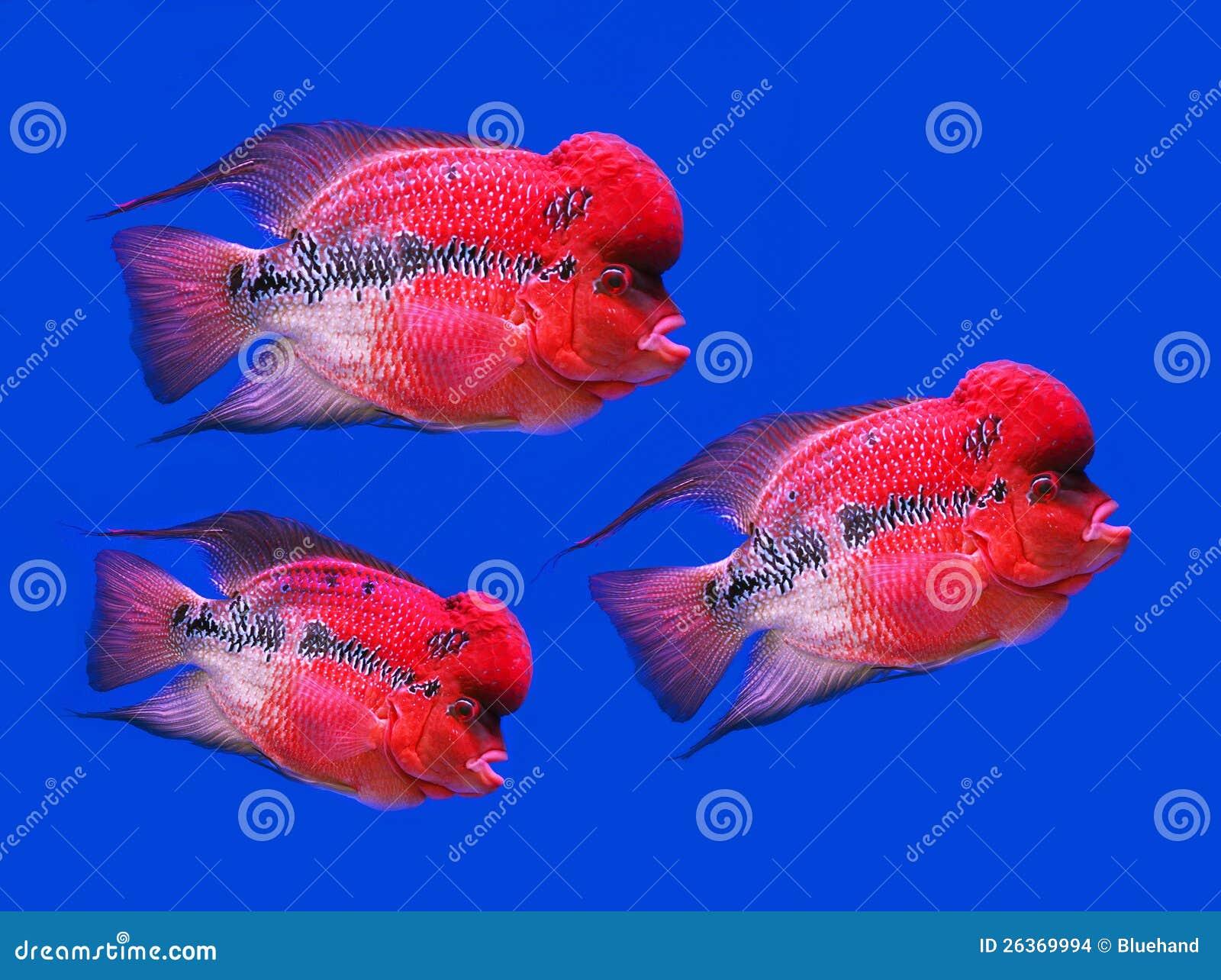 Poissons de récif, poissons bleus de klaxon de tangflower sur le scree bleu