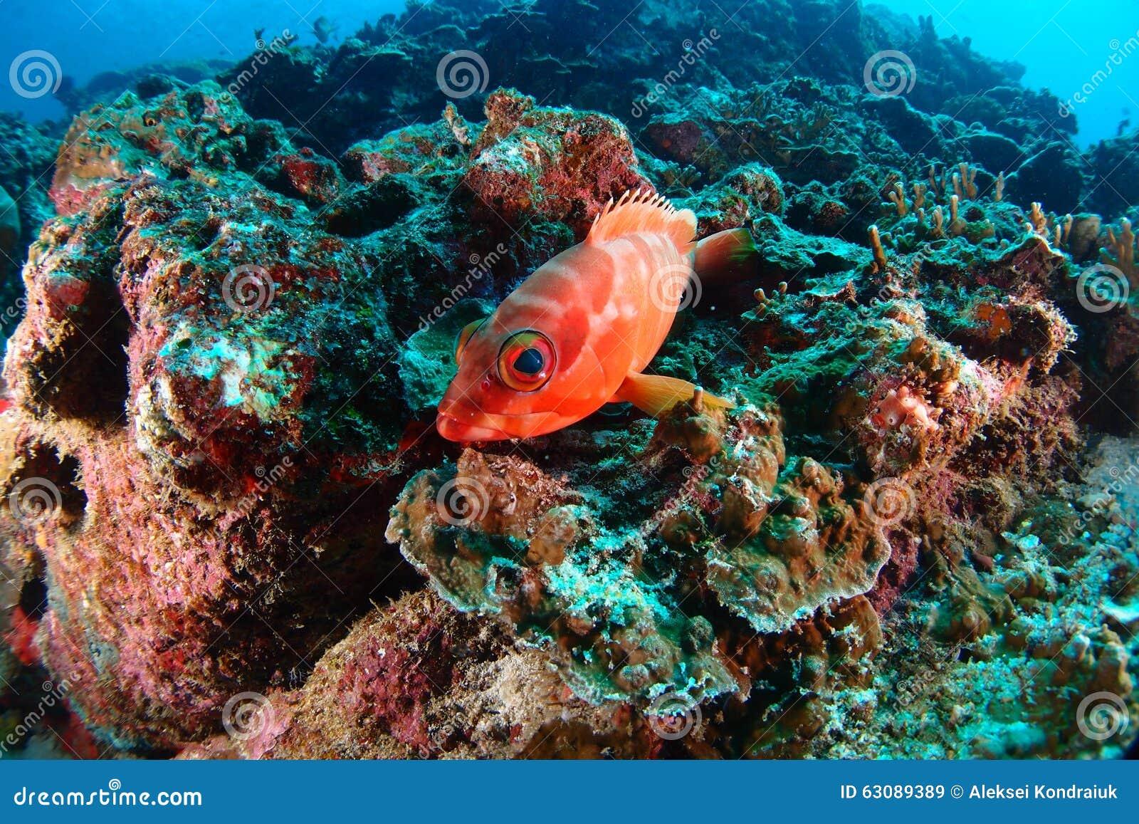 Download Poissons de soldat image stock. Image du seascape, marin - 63089389