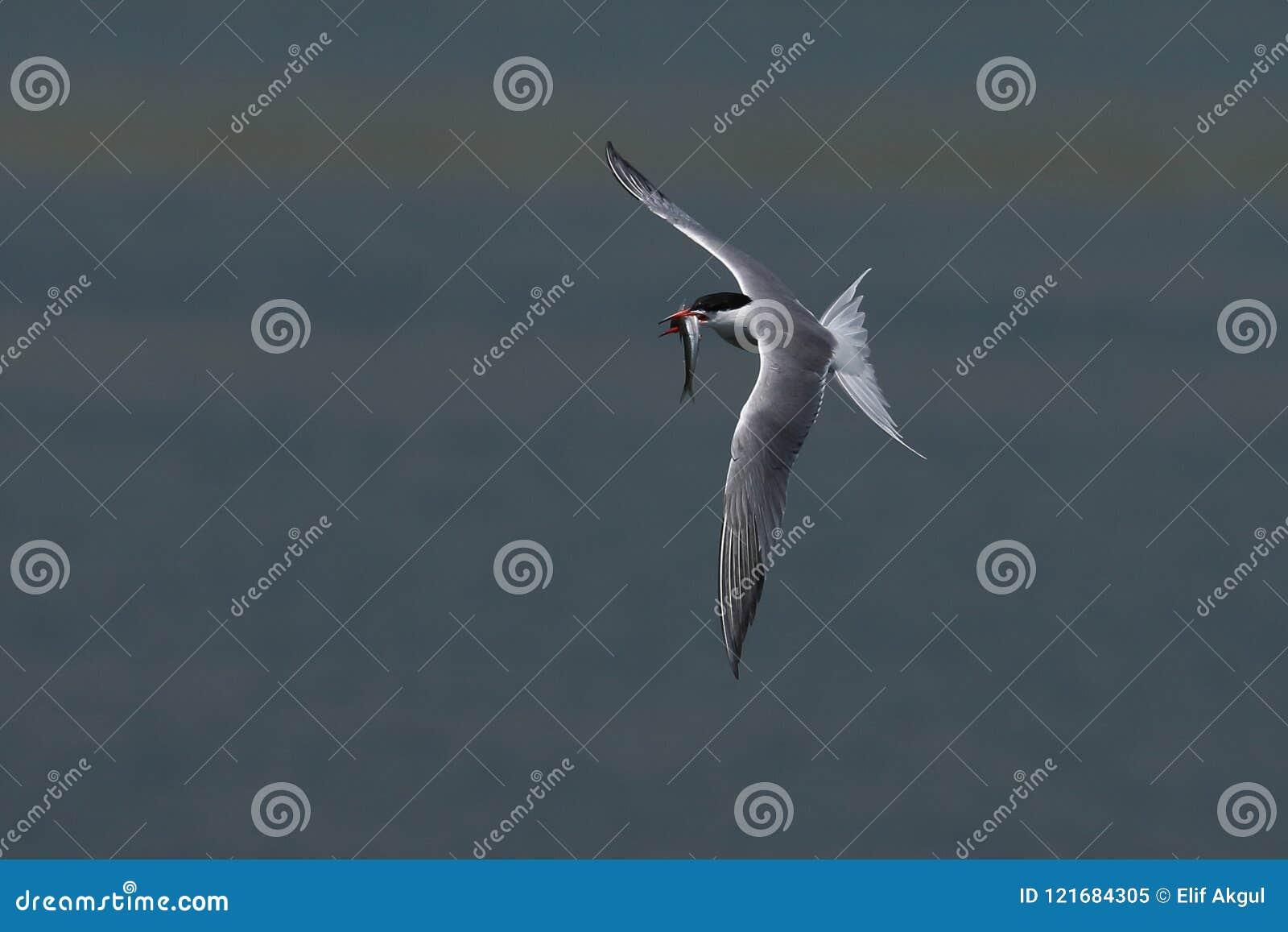 Poissons et oiseau
