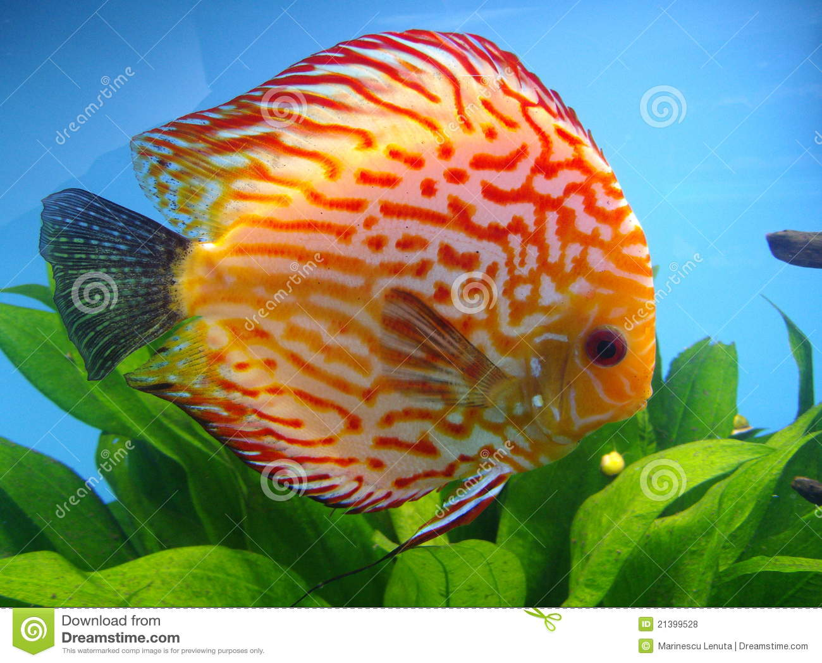 poissons exotiques photo stock image du animal poissons 21399528. Black Bedroom Furniture Sets. Home Design Ideas