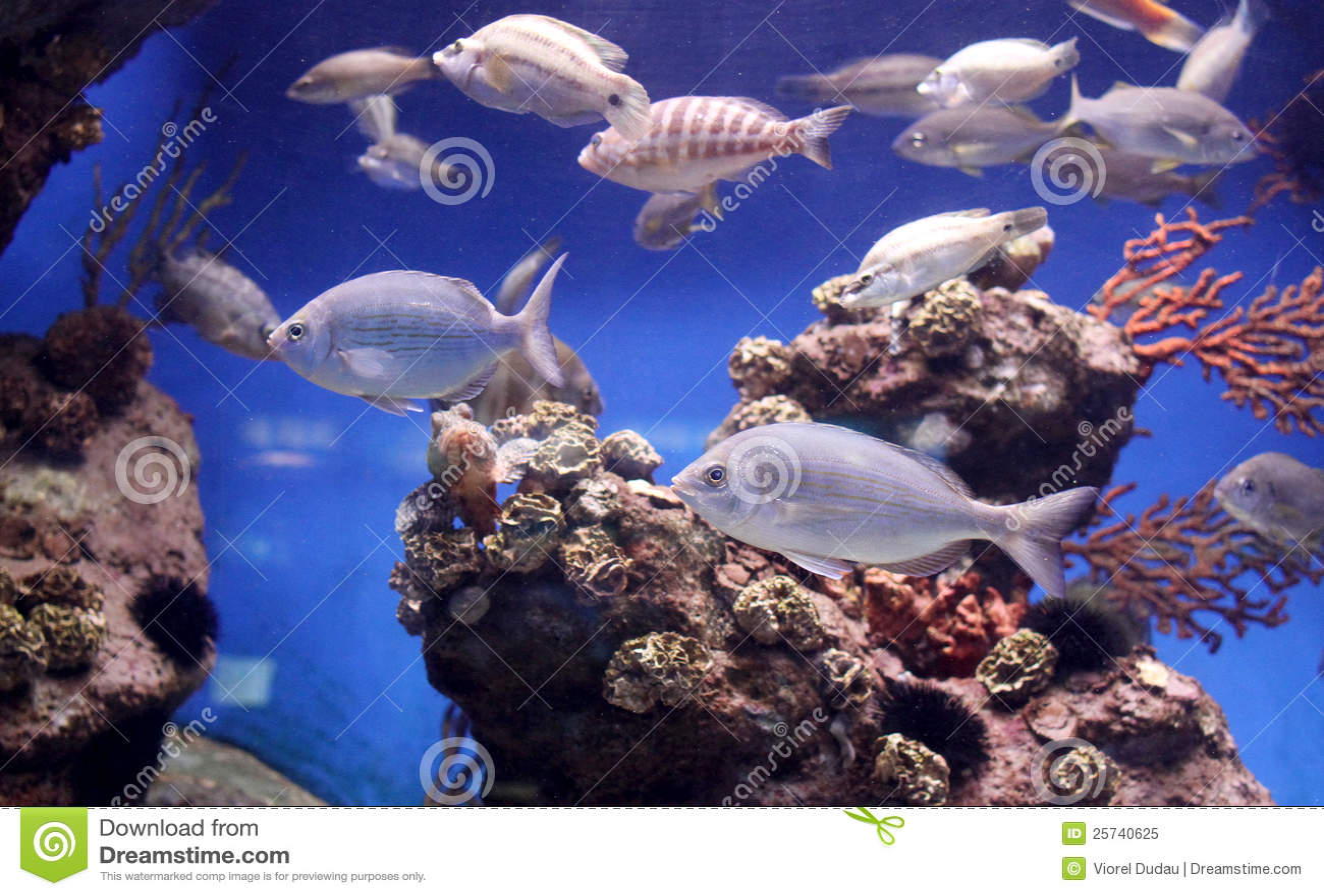 Poissons exotiques photo libre de droits image 25740625 for Poissons exotiques aquarium