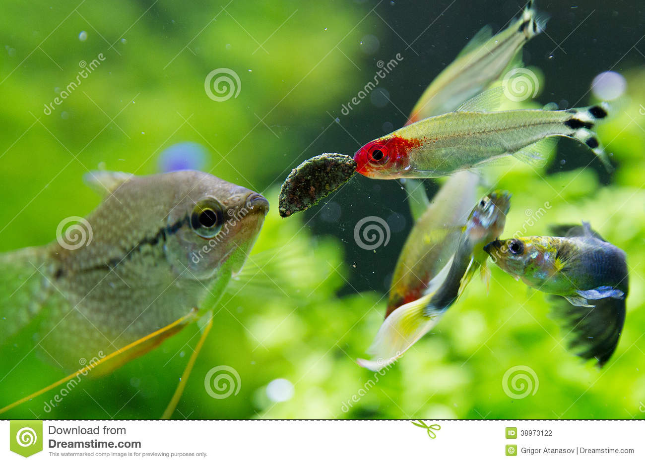 poissons exotiques dans l 39 aquarium d 39 eau douce photo stock image du centrales closeup 38973122. Black Bedroom Furniture Sets. Home Design Ideas