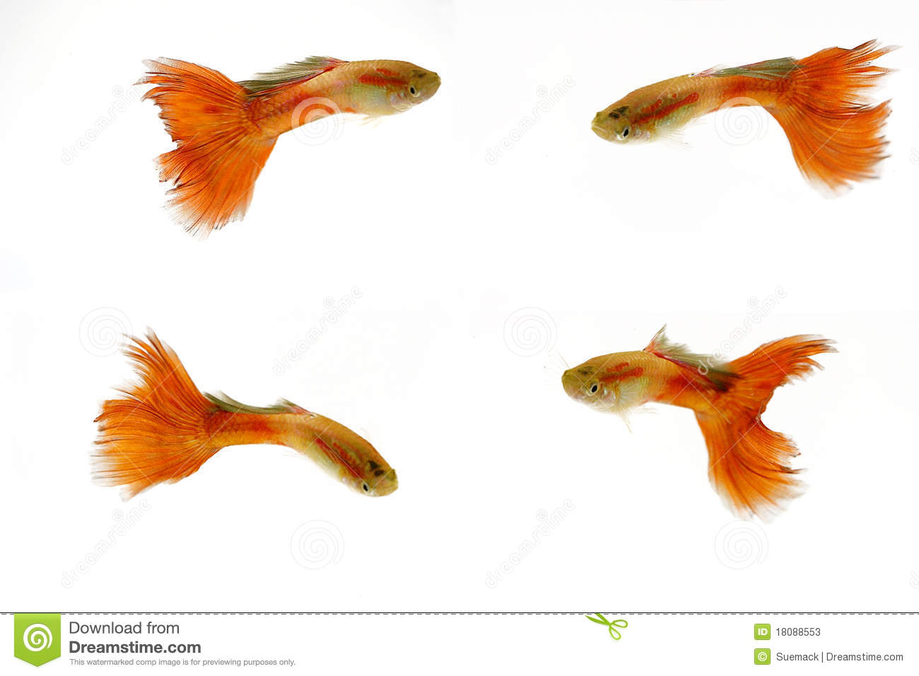 Poissons m les rouges de guppy photos stock image 18088553 for Alimentation guppy poisson rouge