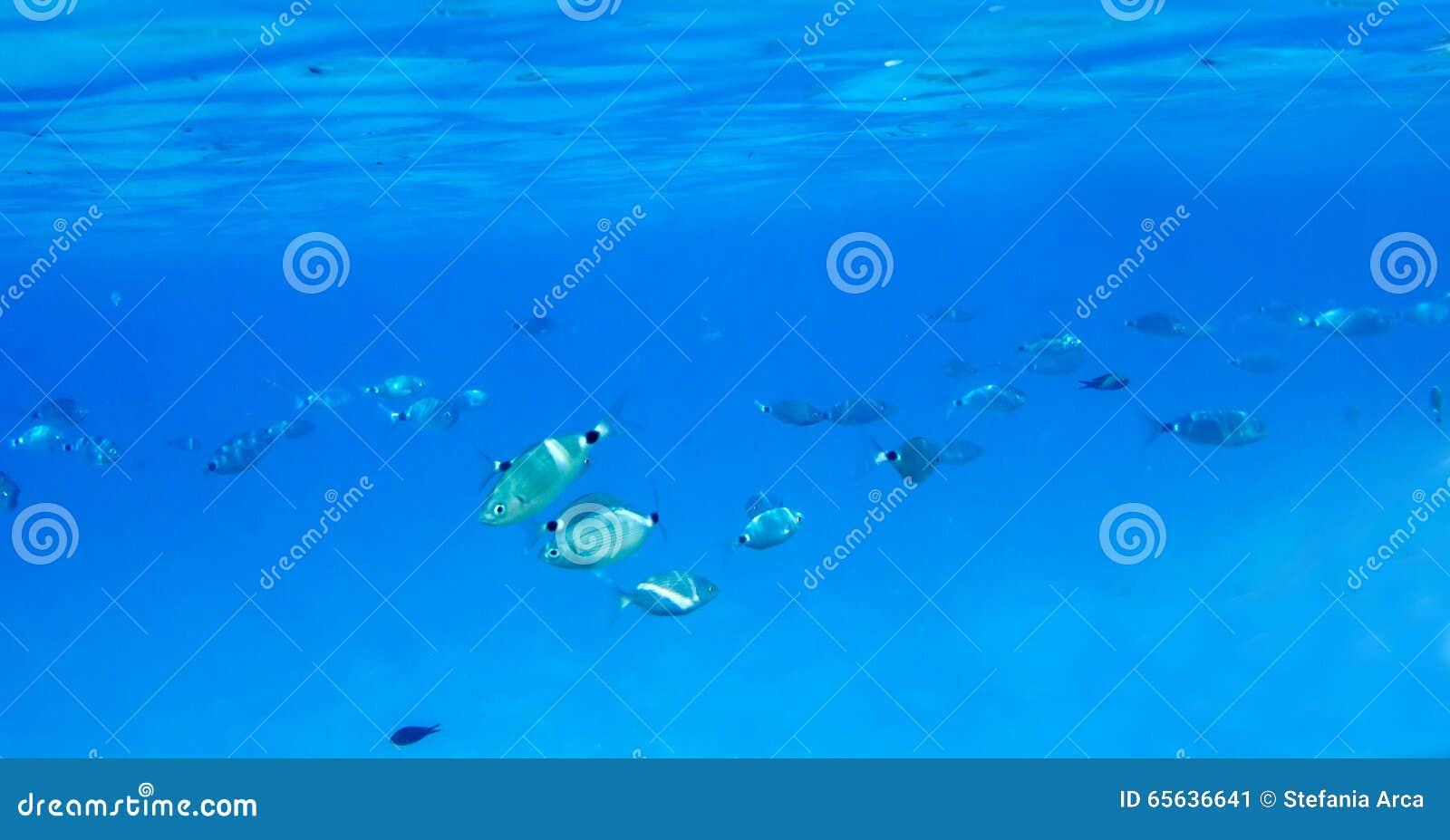 Poissons méditerranéens sous-marins Sparlotti appelé dans le langu italien