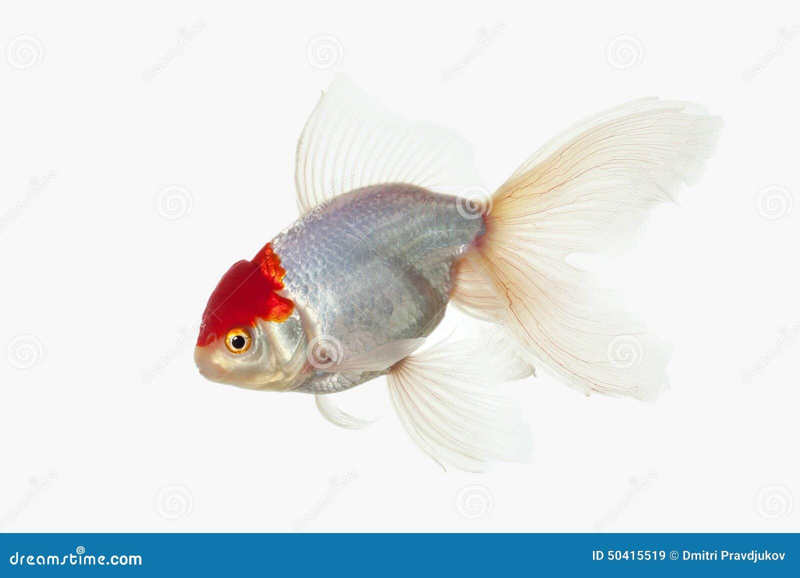 Poissons poisson rouge blanc d 39 oranda avec la t te rouge for Achat d un poisson rouge