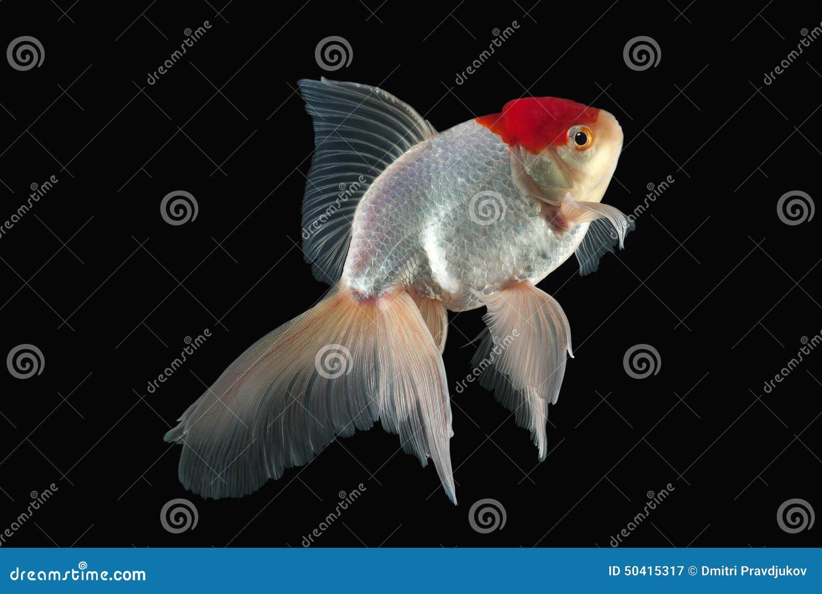 Poissons poisson rouge blanc d 39 oranda avec la t te rouge for Poisson rouge achat