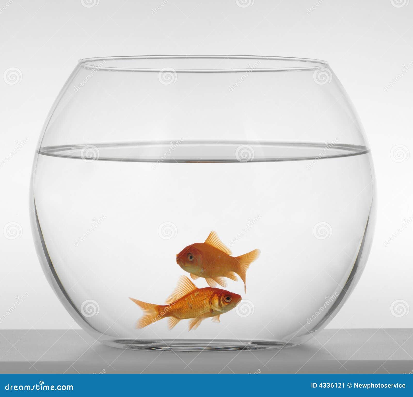 poissons rouges dans un aquarium sur un fond blanc image stock image 4336121