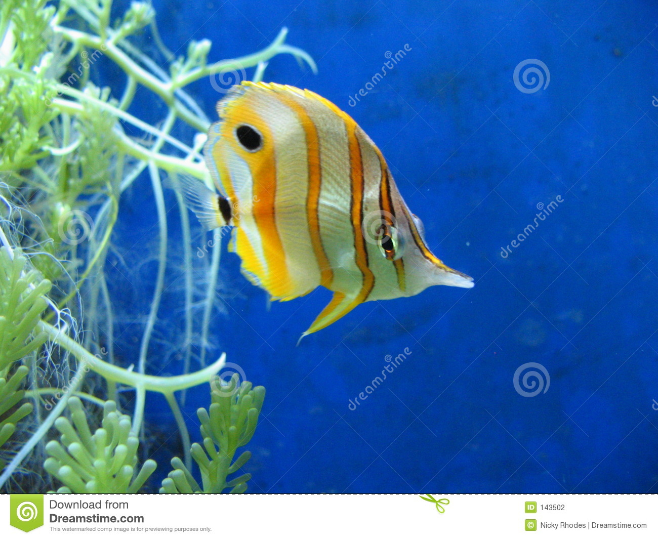 Poissons tropicaux photo stock image du aquarium for Poisson tropicaux pour aquarium