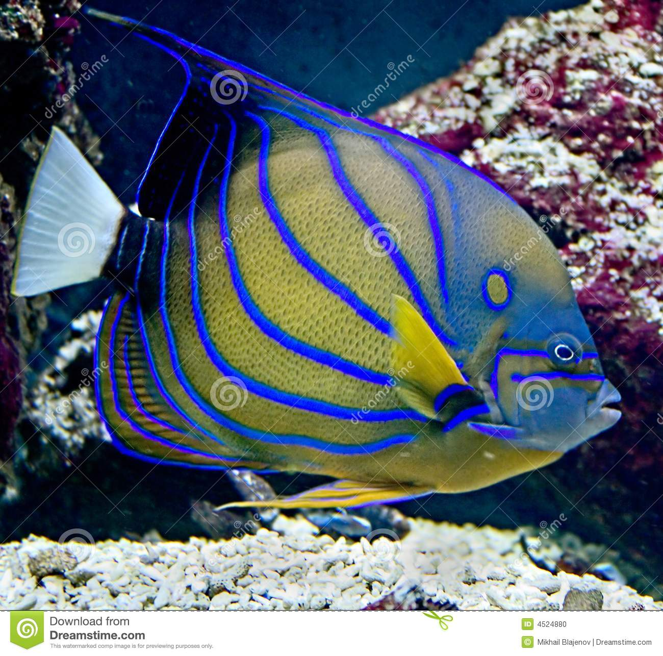 Poissons tropicaux 23 photo stock image 4524880 for Poisson tropicaux