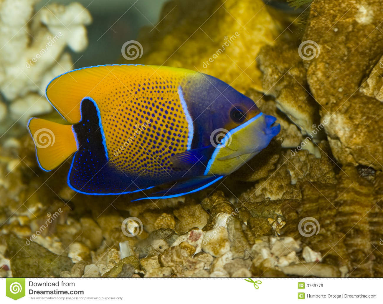 Poissons tropicaux image stock image du aquarium for Poisson tropicaux