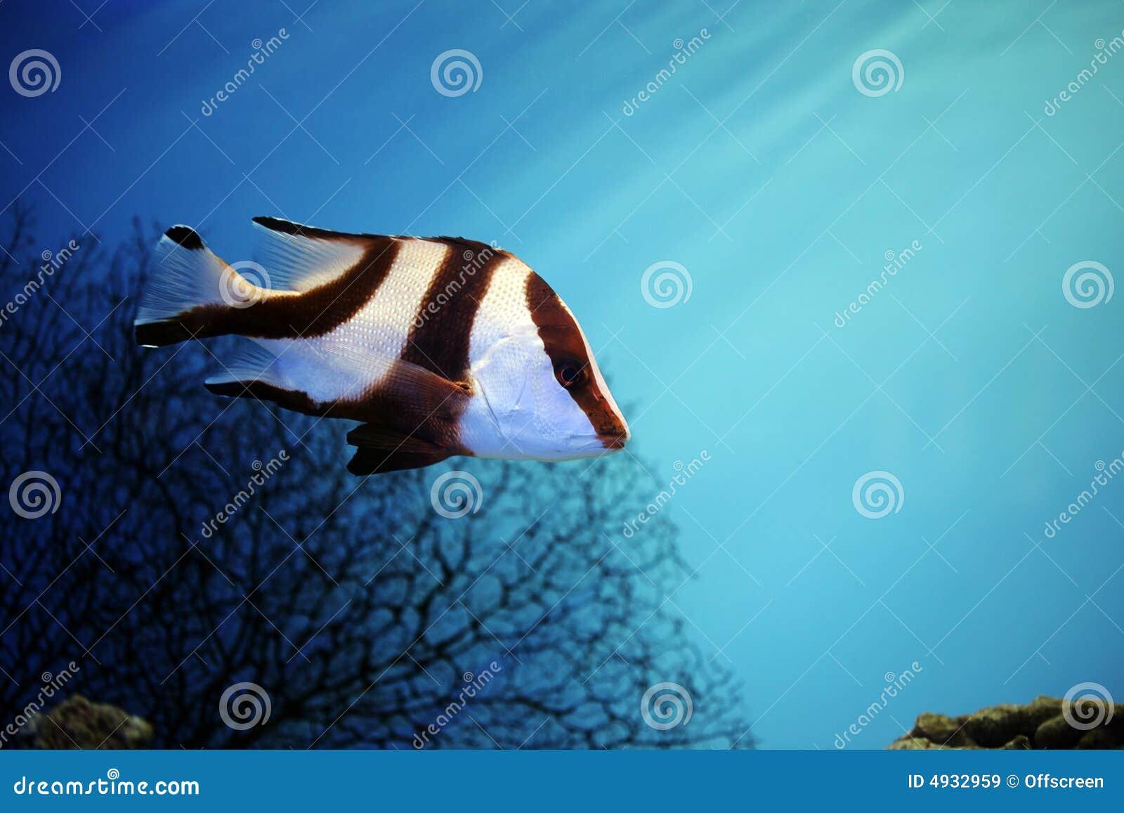 Poissons tropicaux images libres de droits image 4932959 for Poisson tropicaux aquarium