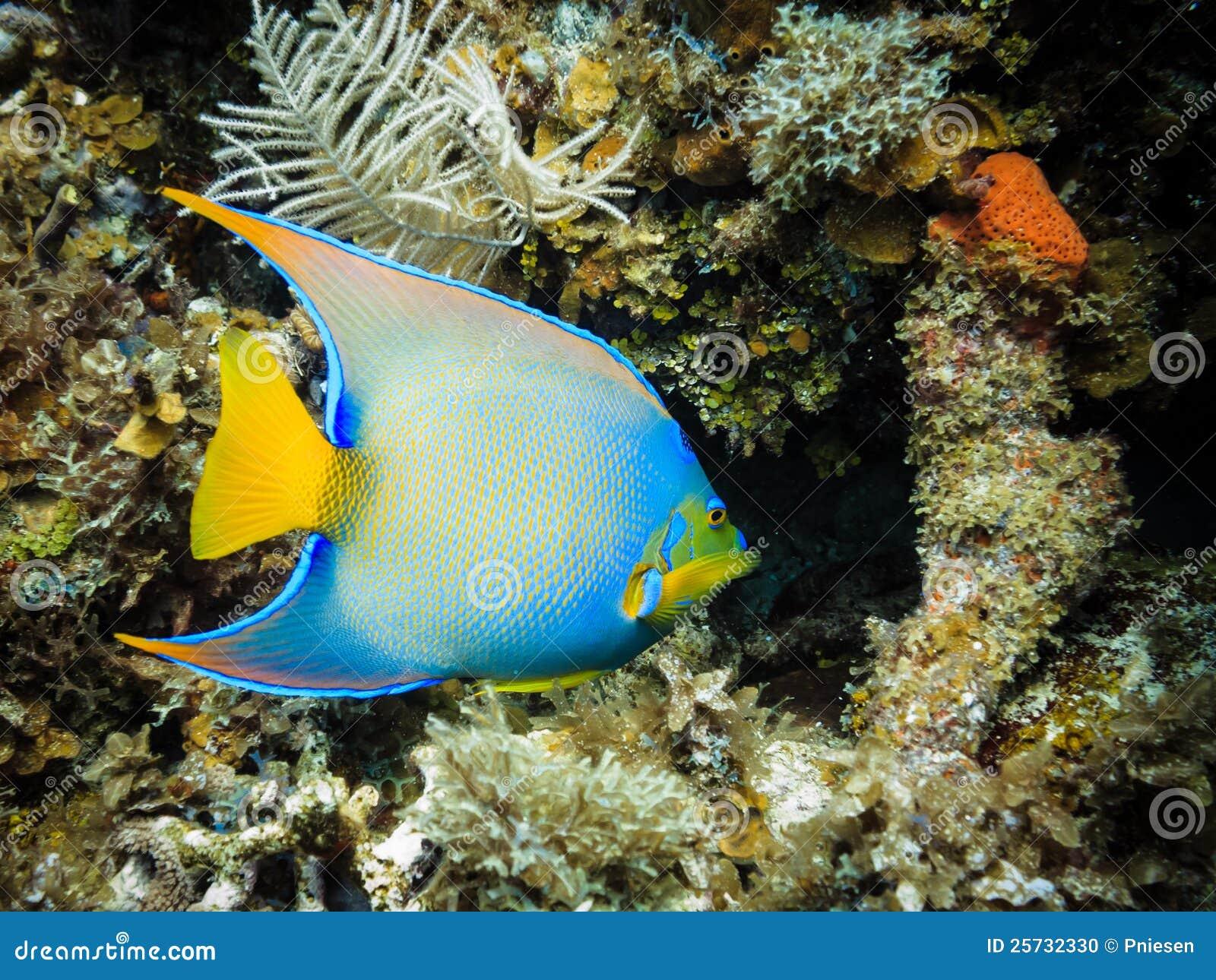Poissons tropicaux bleus d ange de la Reine sur le récif coralien