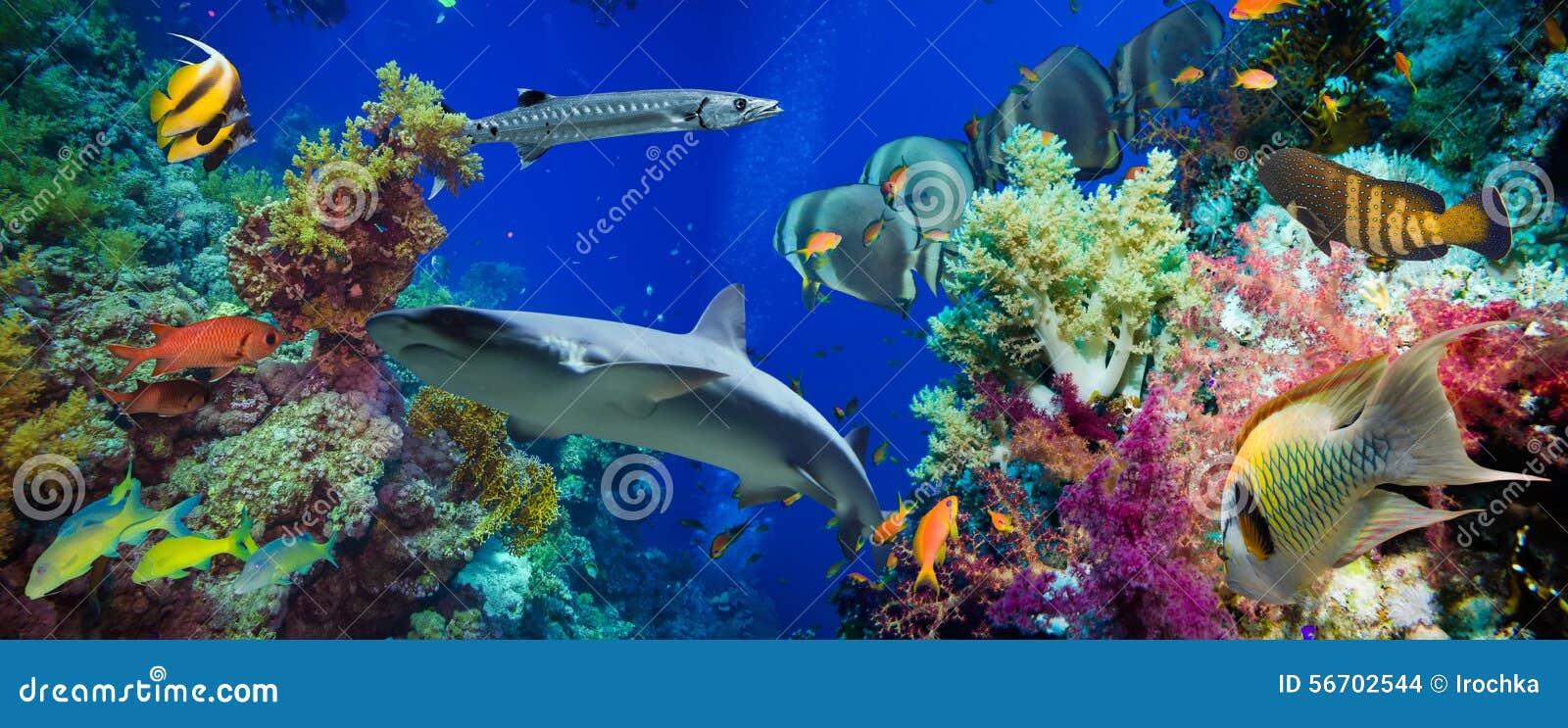 Poissons tropicaux d Anthias avec les coraux nets du feu et requin