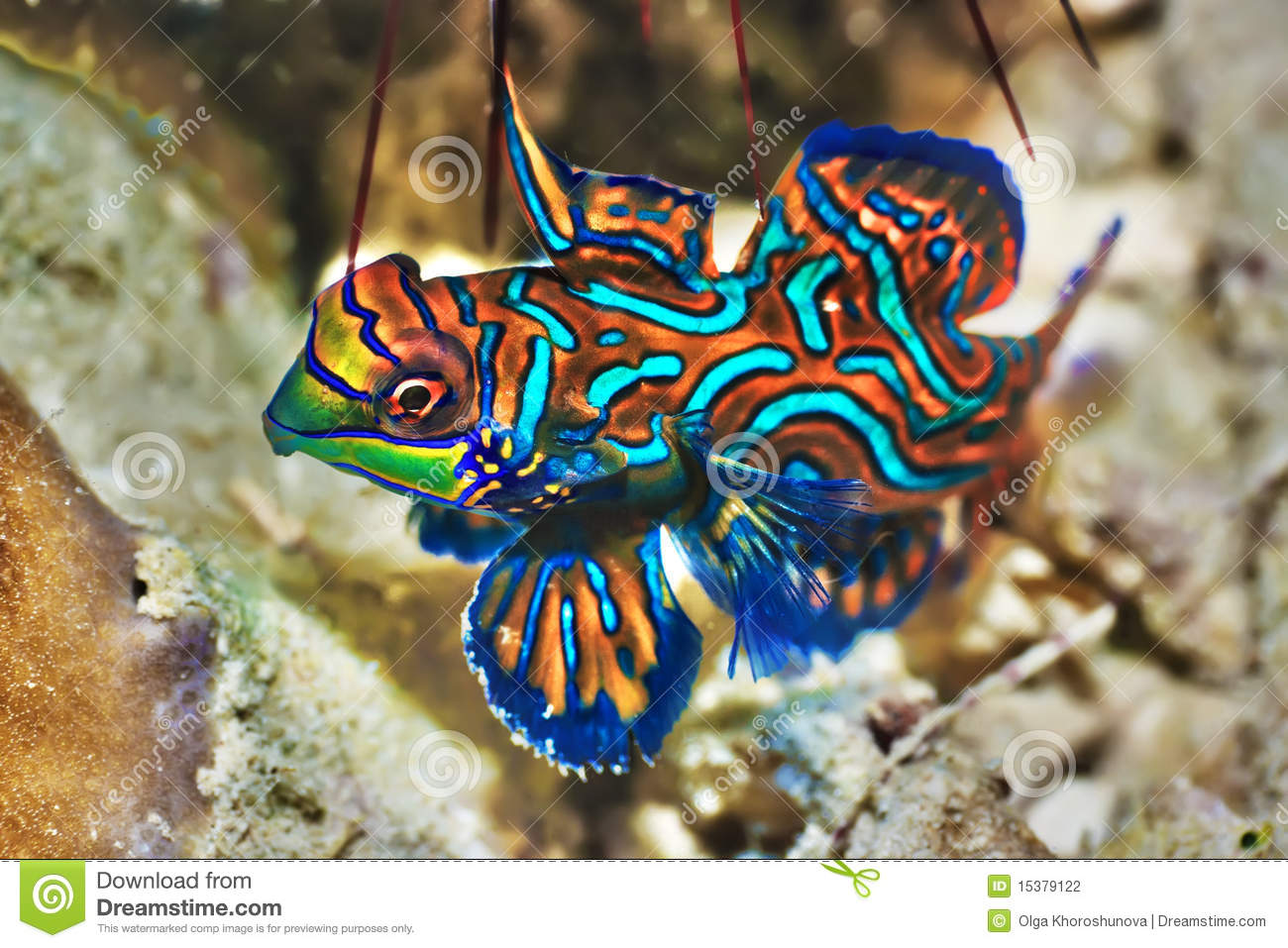 Poissons tropicaux mandarinfish photo stock image 15379122 for Poisson tropicaux