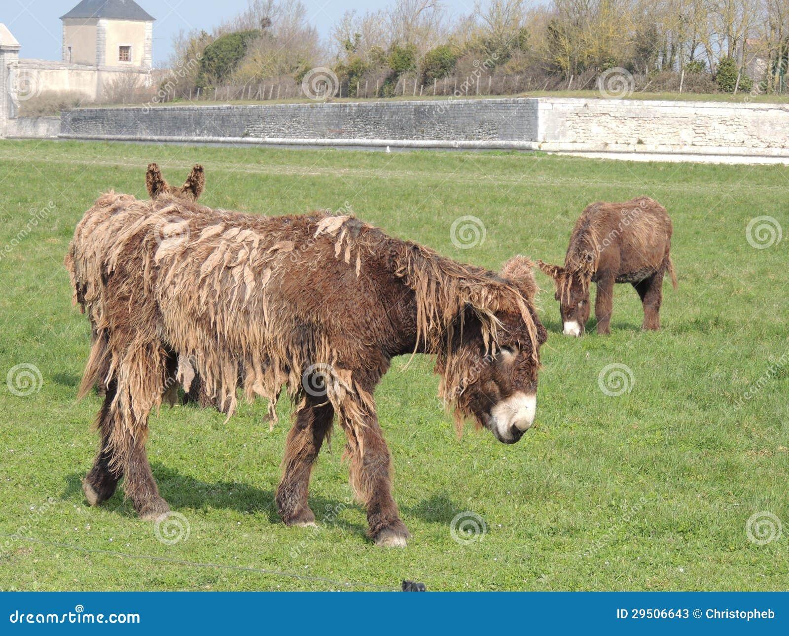 法国, poitou驴