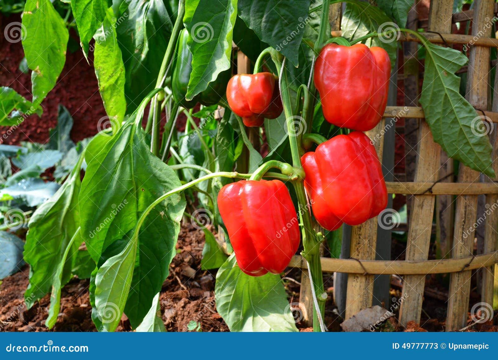 Poivron doux rouge paprika dans le jardin image stock for Entretien poivron jardin