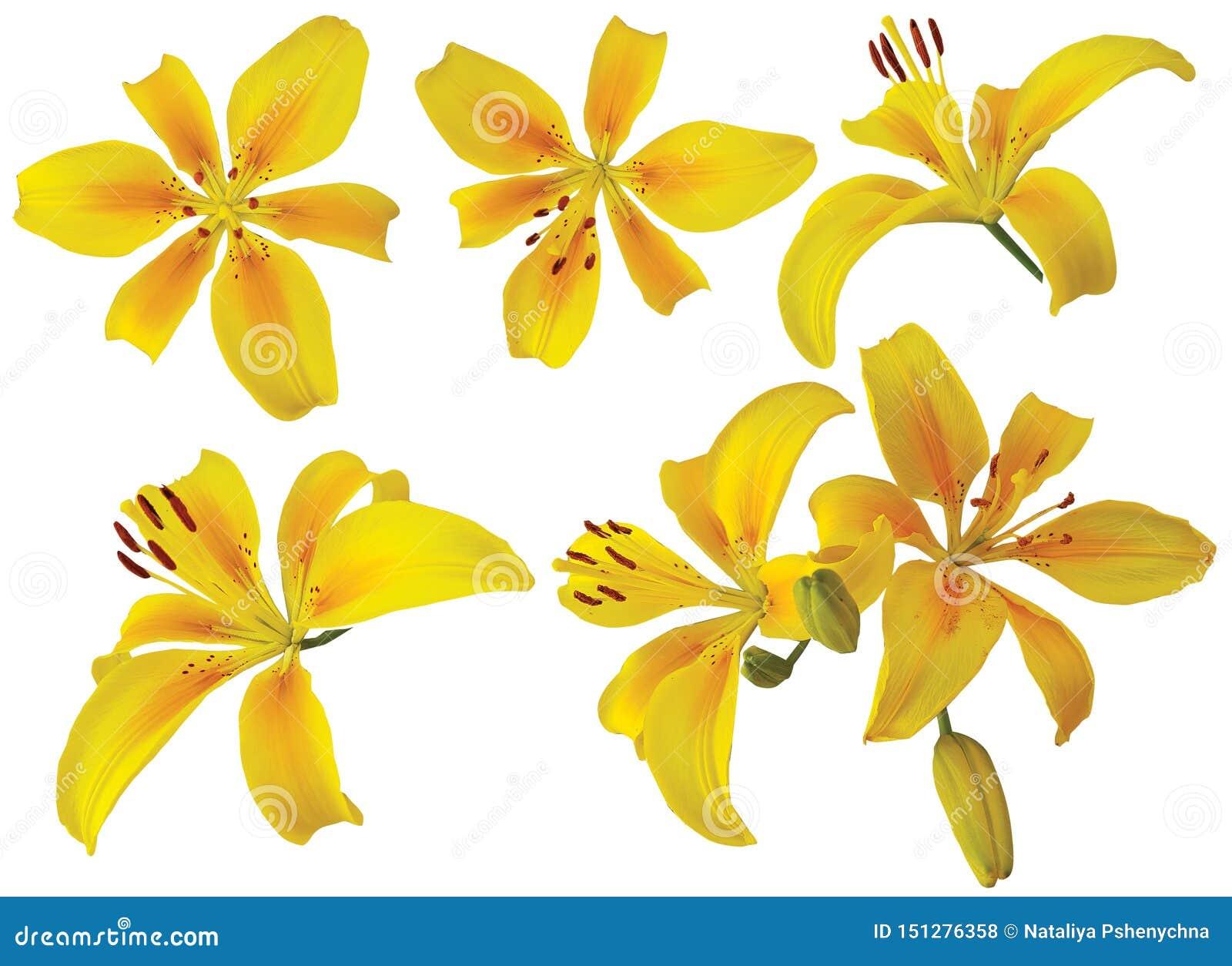 Pojedyncza żółta leluja kwitnie na białym tle