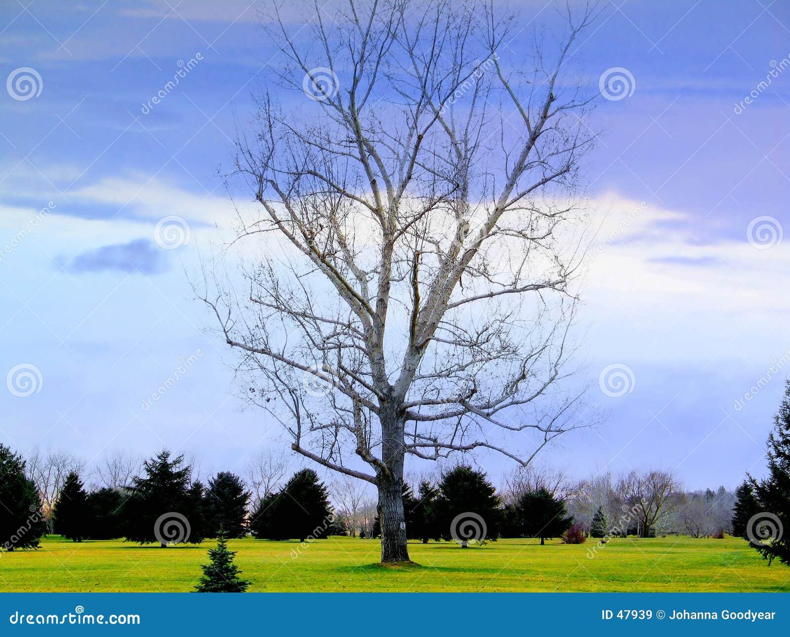 Pojedyncze drzewo