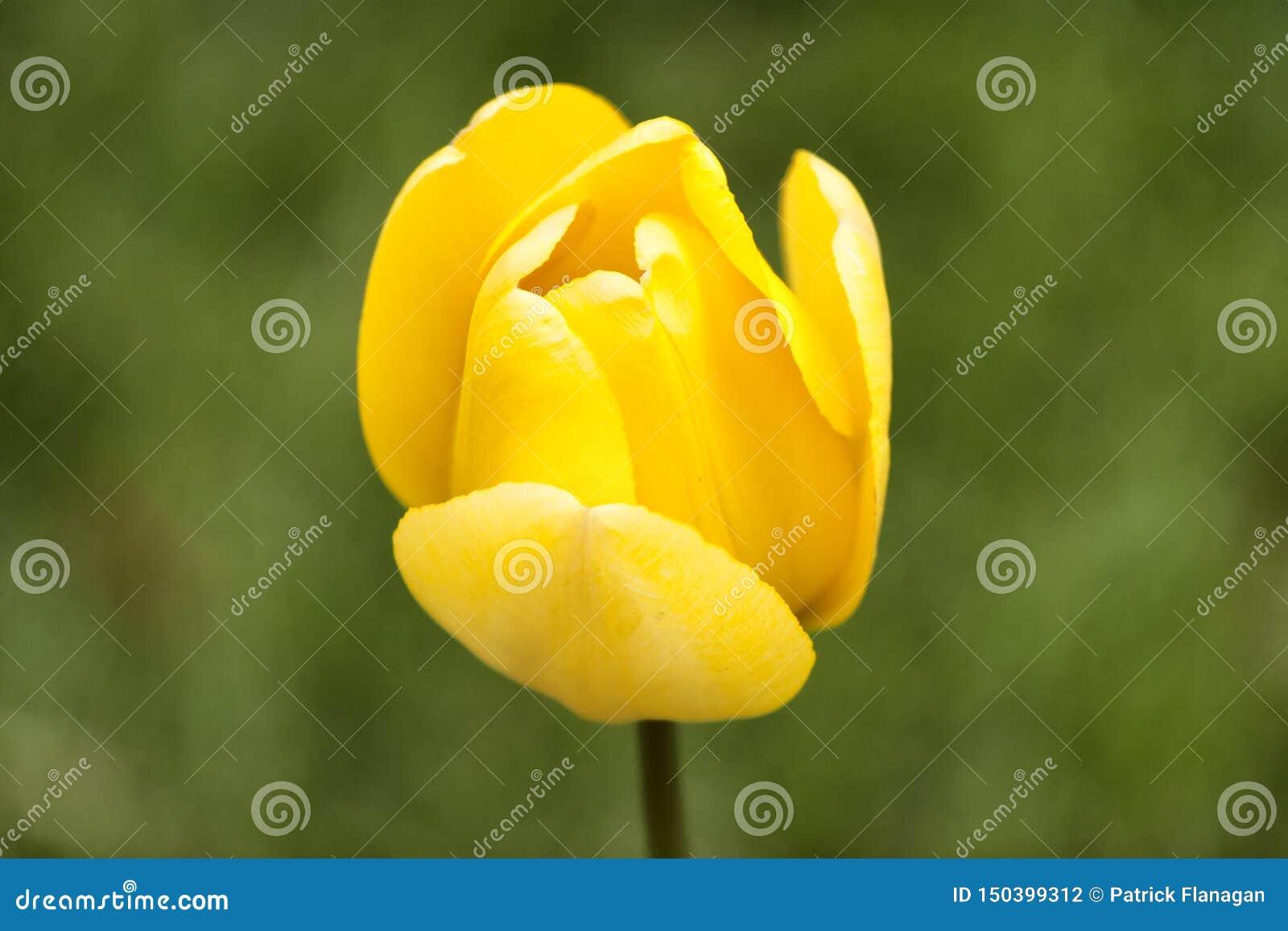 Pojedynczy żółty tulipan przeciw zielonemu tłu