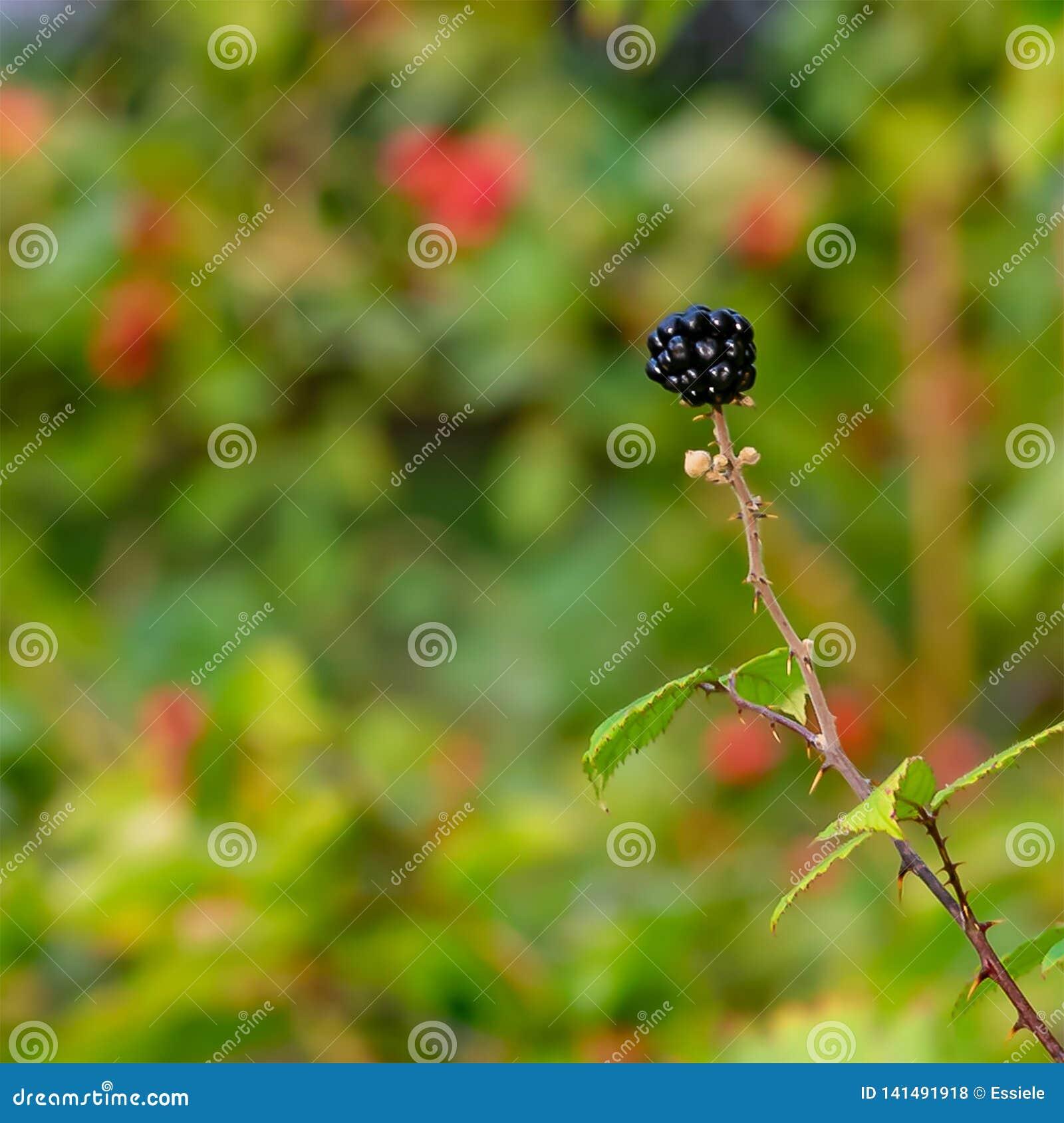 Pojedynczy Blackberry w Mój Frontowym ogródzie