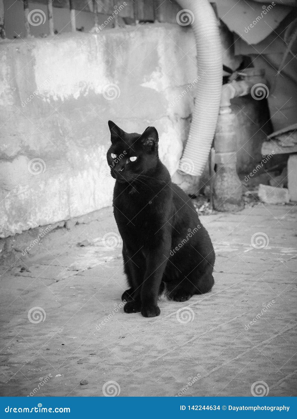 Pojedynczy czarny pełen wdzięku kot, stoi na bruku outdoors
