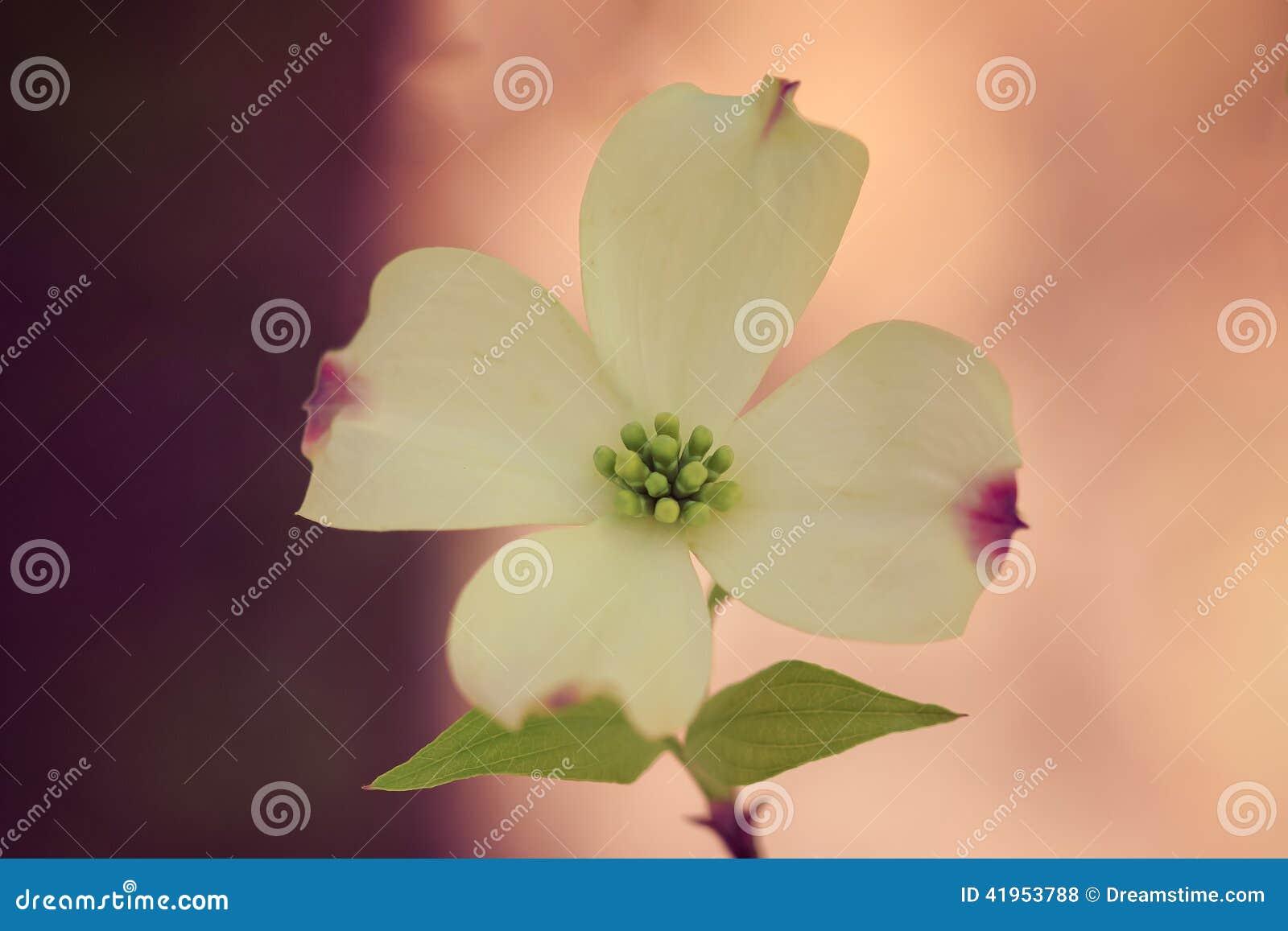 Pojedynczy Dereniowy kwiat