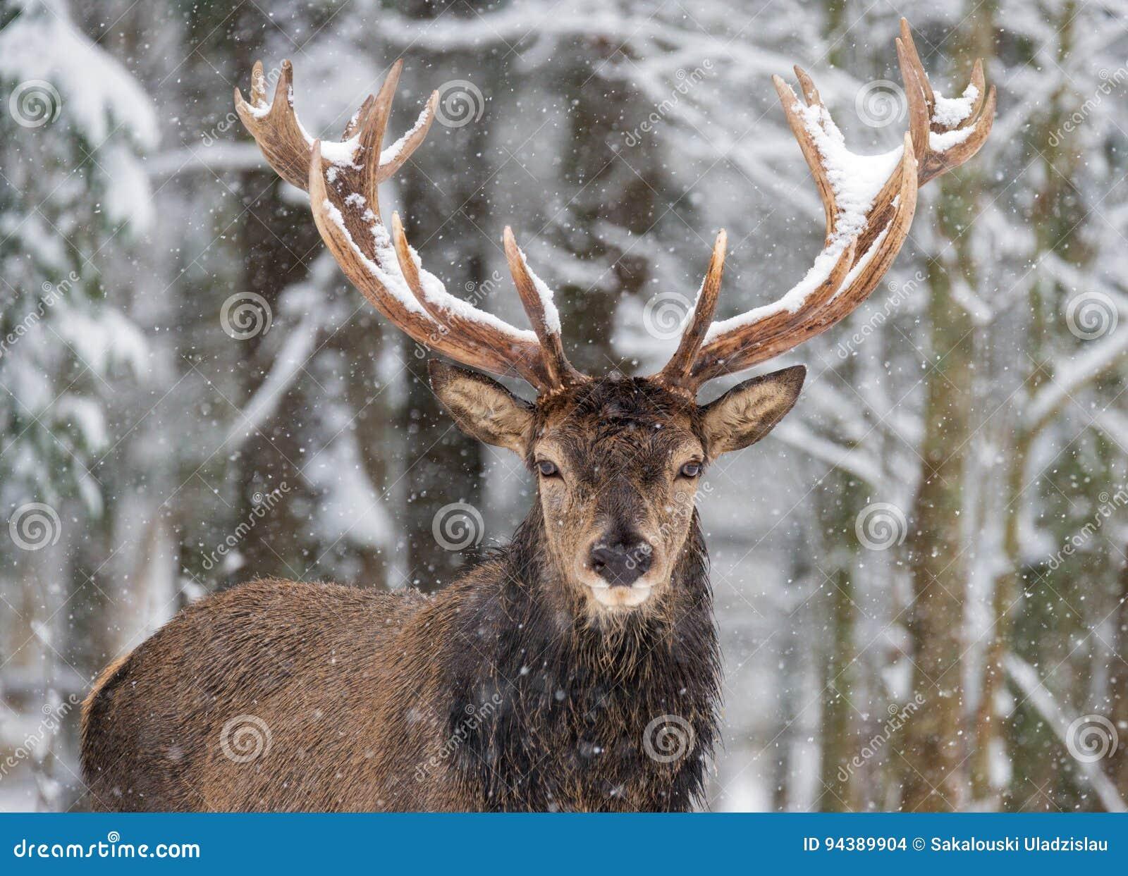 Pojedynczy dorosły szlachetny rogacz z dużymi pięknymi rogami na śnieżnym polu, Patrzeje ciebie Europejski przyroda krajobraz z ś
