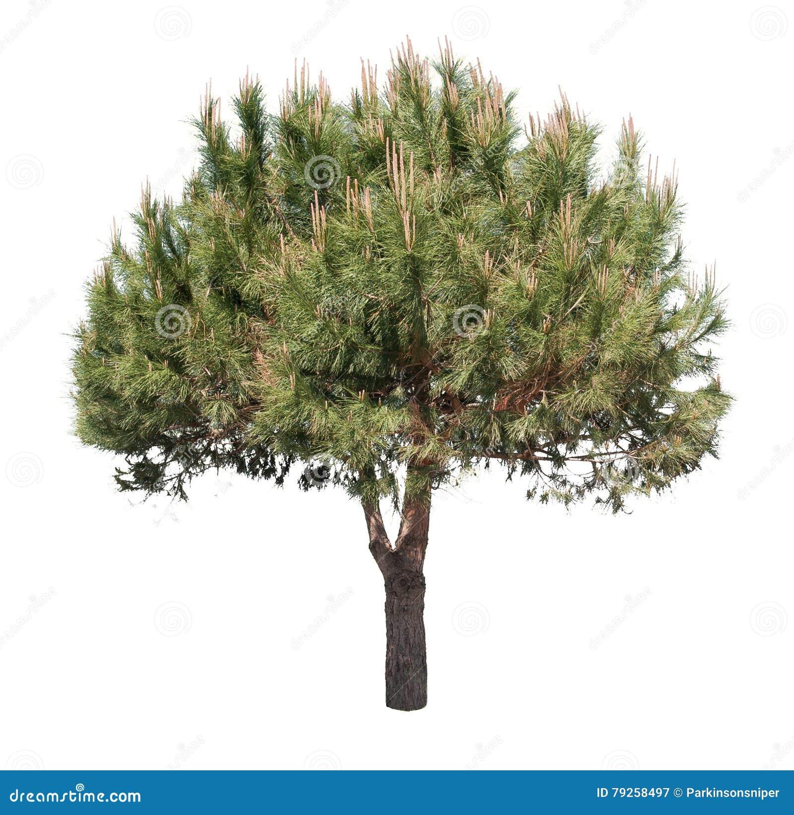 Pojedynczy drzewo