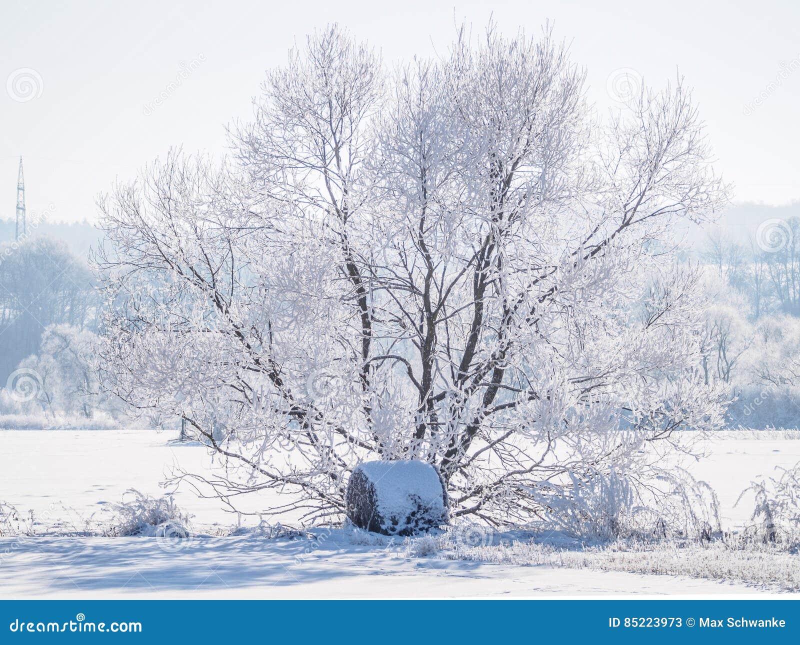 Pojedynczy drzewo zakrywający w mrozie III i śniegu