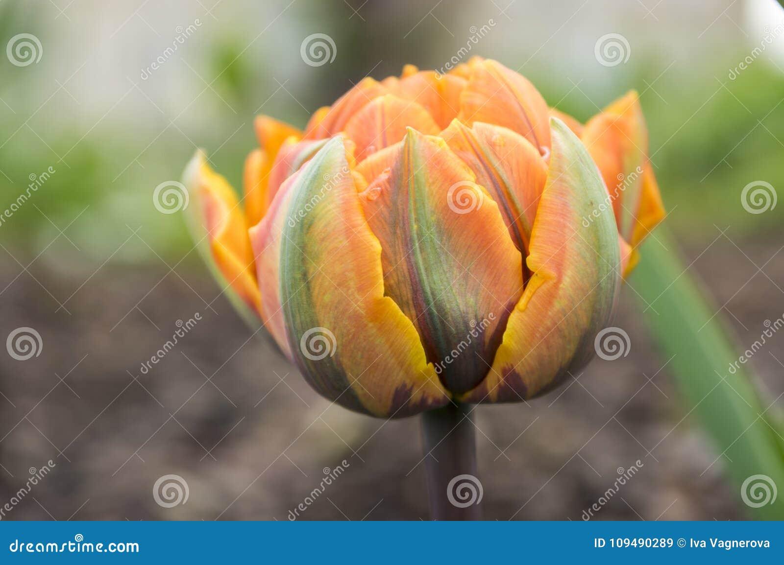 Pojedynczy kolor szczekająca piękna wiosny pomarańcze, czerwieni i koloru żółtego kopia, kwitnie tulipanu w kwiacie w świetle sło