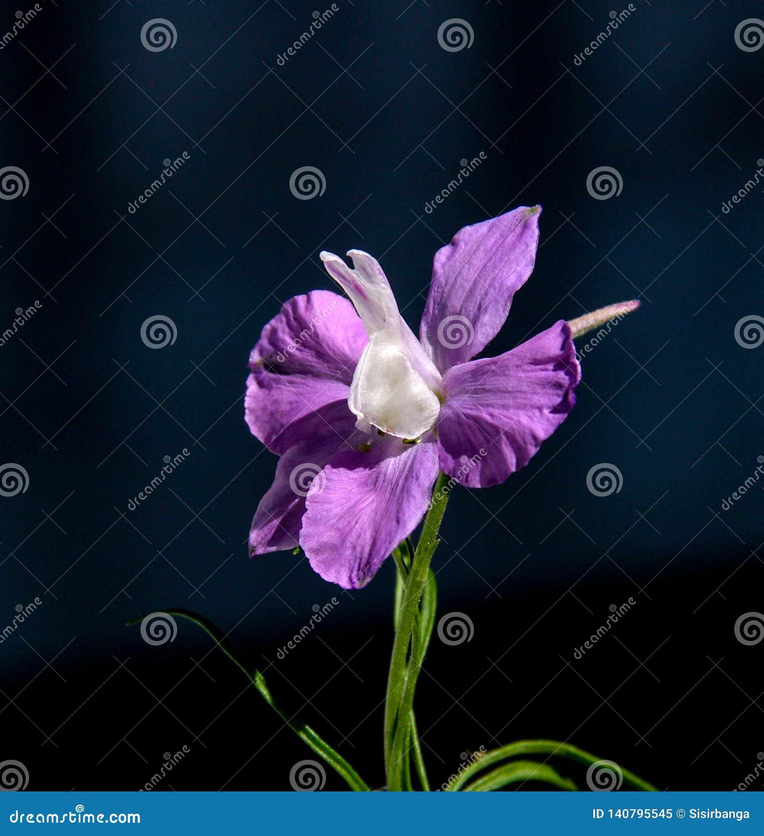 Pojedynczy Larkspur kwiat